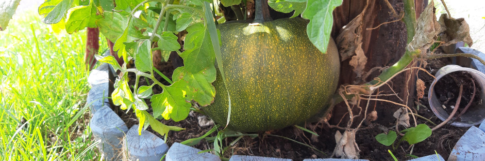 Pumpkin growing in roadside plant bed