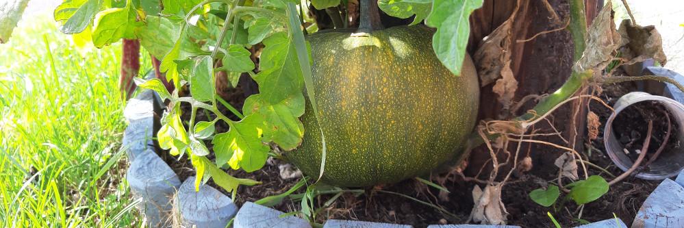 Pumpkin growing in roadside plant bed